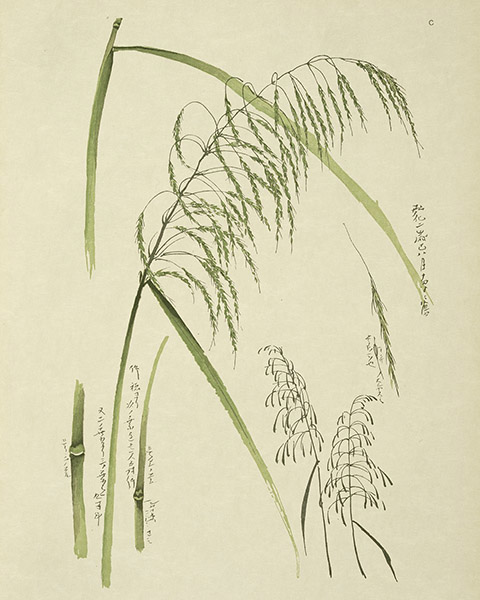 Study of Grass 1845, Le Japon Artistique